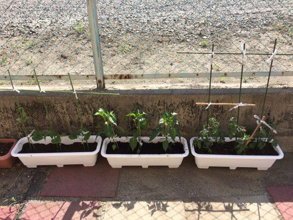 優新菜園,インゲン,ミニトマト,ピーマンの苗